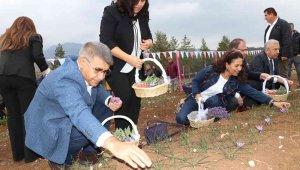 5. Safran Festivali safran, lavanta ve ada çayı hasadı ile sona erdi